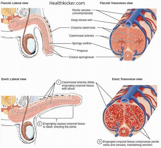 how penis enlargement work